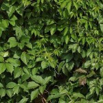 виноград Енгельмана