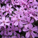 phlox_desktop_wallpaper